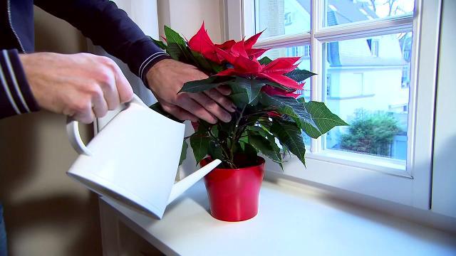 Video Comment Bien Entretenir Son Poinsettia Ou Etoile De Noel