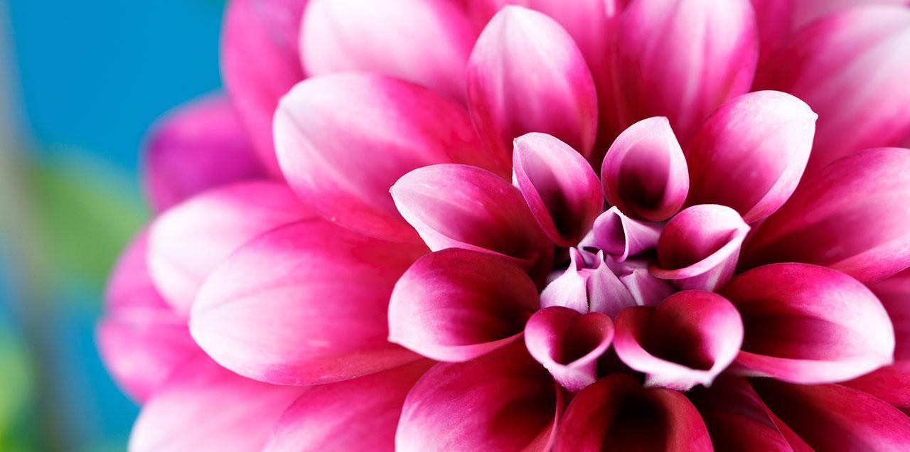 Quand Planter Les Glaieuls Et Dahlias | Idées décoration - Idées décoration